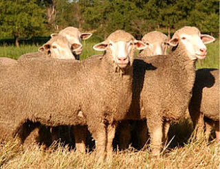 Targhee Sheep Wool Type, Characteristics, Disadvantages, Colors, Price