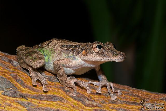 Scinax boulengeri - Boulenger's Snouted Tree Frog