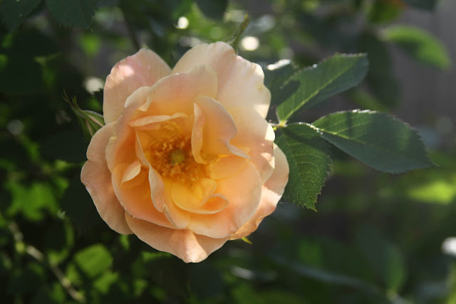 garden, roses, Above and Beyond, climbing roses, Anne Butera, My Giant Strawberry