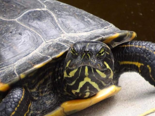 Tartaruga de orelhas amarelas