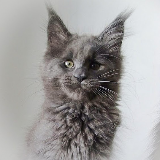 Beautiful young Maine Coon to type