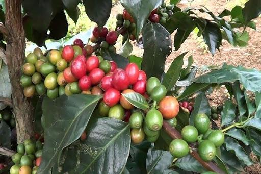 Giá cà phê hôm nay 27/5: Thị trường tăng mạnh cao nhất 33.400 đồng/kg