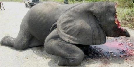 Αποτέλεσμα εικόνας για ελέφαντας σκοτωμένος χωρίς χαυλιόδοντες