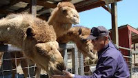 See Camels, goats and more in Sevierville