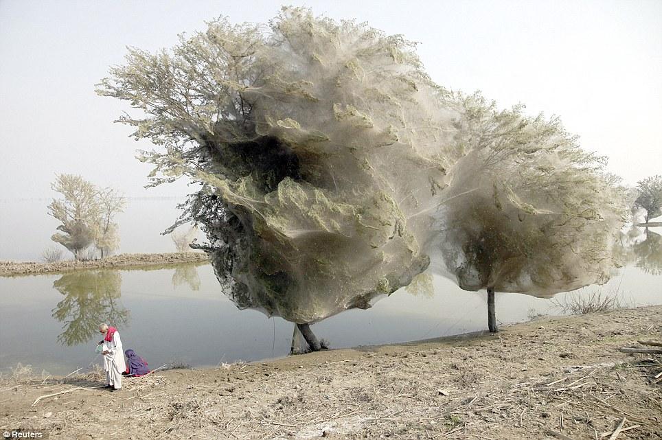 ¿Maravillas Temporales? Arañas toman árboles en Pakistan. 2