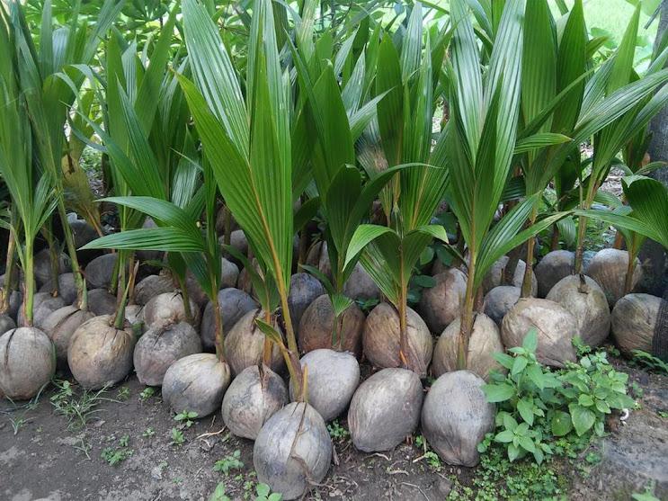 Bibit kelapa wulung kelapa hijau wulung kelapa ijo asli 100 KHANZA Lampung