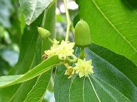 棗(なつめ)の花と幼果