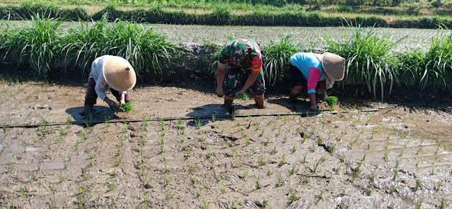 Babinsa Ikut Tanam Padi Untuk Dukung Program Ketahanan Pangan