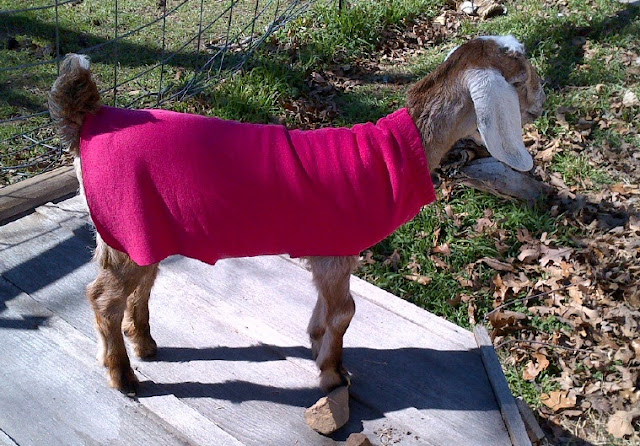 These easy-to-make kid coats will keep your new baby goats warm and cozy in chilly weather. No sewing required!
