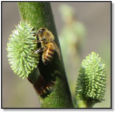 Weidenkätzchen mit Biene