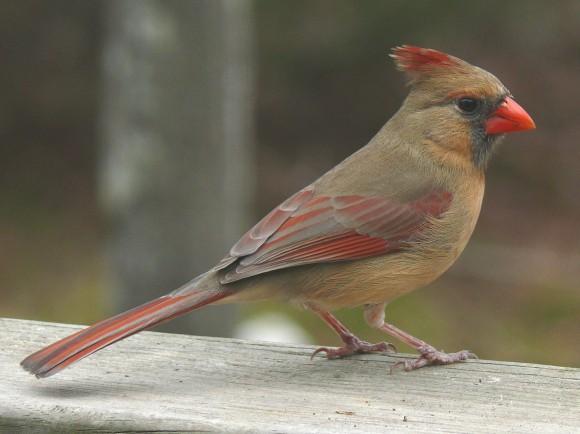 طيور نــادرة رائــــــعة Northern_Cardinal_Fe