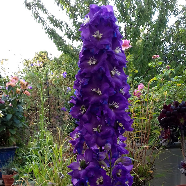 Delphinum Society seeds 2019, dark purple with a light eye