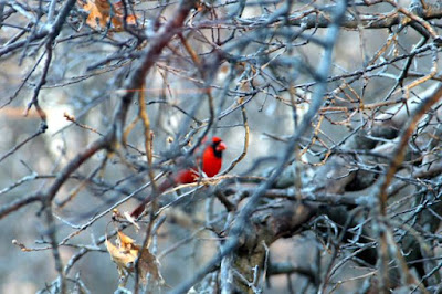 male Cardinal with oak leaf cluster
