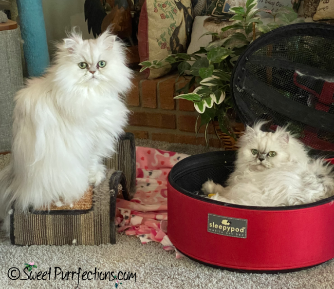 2 silver shaded Persian Cats, Brulee and Truffle, looking forward from sleepypod and scratcher
