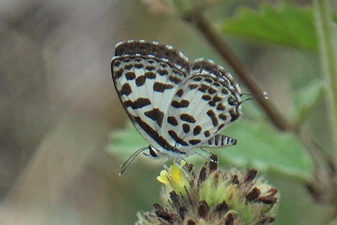 Dlium Common pierrot (Castalius rosimon)