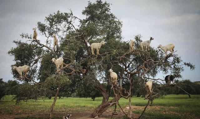 Goats,Mammals