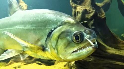 Dunia Ikan Hias - PAYARA ARMATUS