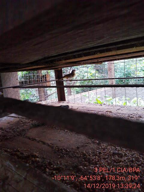 BPA localiza viveiros clandestinos de pássaros em Guajará-Mirim e Nova Mamoré