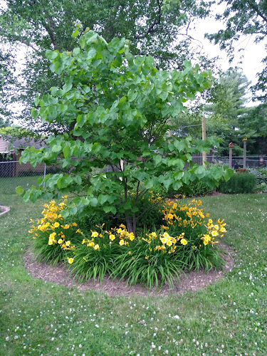 Redbud tree surrounded by yellow daylilies