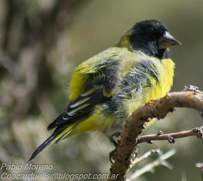 """alt=""""cabecitanegra picudoSpinus crassirostris,cabecita,aves de Mendoza"""""""