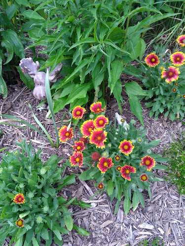 red and orange blanket flowers