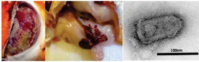 Penyakit Virus Pada Ikan : Hemorrhagic Septicemia (VHS)