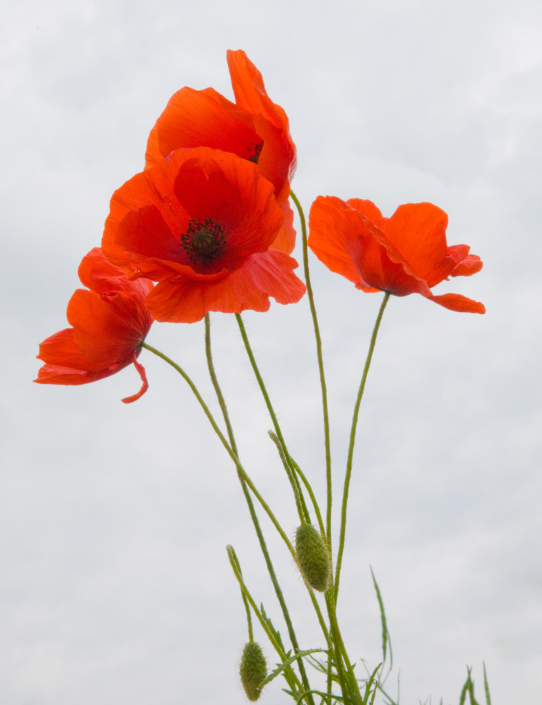 PicturesPool: Remembrance Day | Poppy Day Greetings,Wishes