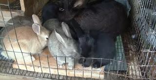 kelinci jenis new zealand A