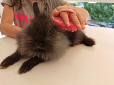 brushing a rabbit