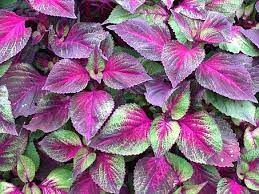 Potential Benefits of Red Shiso Leaves for Promising Health