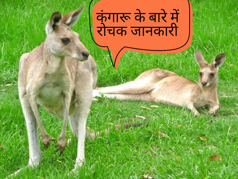 कंगारू के बारे में 15 रोचक तथ्य - Amazing Facts about Kangaroo in Hindi