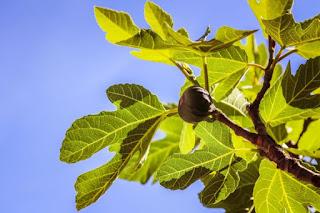 Fig Tree by Jametlene Reskp on Unsplash