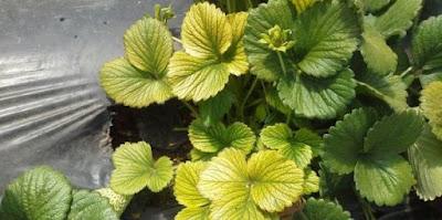 Clorose é sintoma comum de planta doente