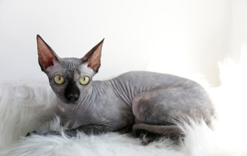 how much does a sphynx cost