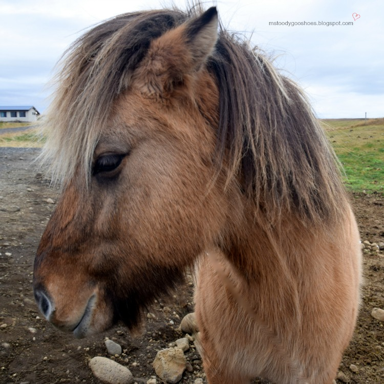 Icelandic Horse - Just don't call it a pony! | Ms. Toody Goo Shoes