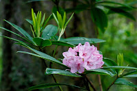 Pacific Rhododendron, Deception Pass State Park