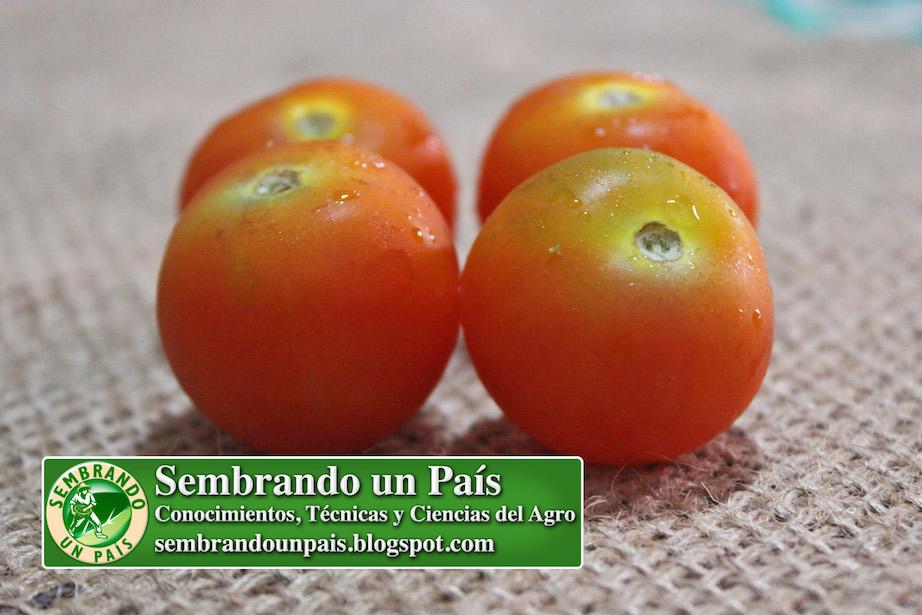 frutos de tomate cherry