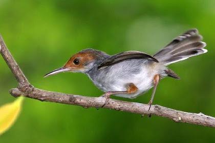 √ Download Suara Burung Prenjak Betina Gacor Mp3 Lengkap