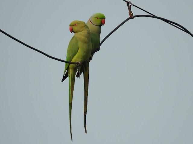 Parrot - 24