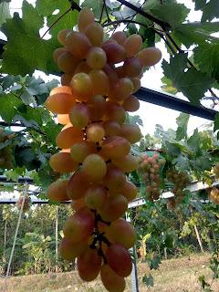 buah anggur transfiguration matang
