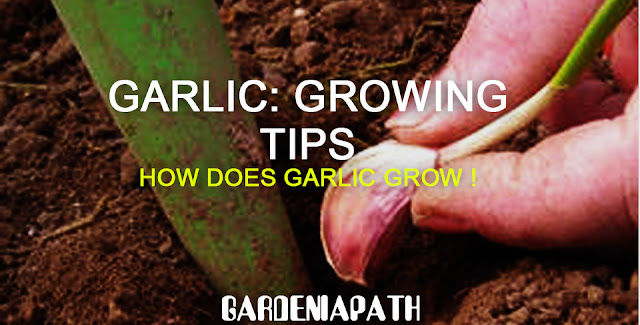 Garlic: Growing tips