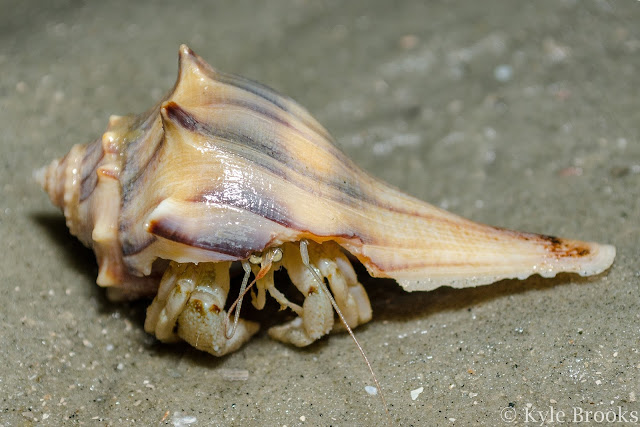 Hermit Crab South Carolina