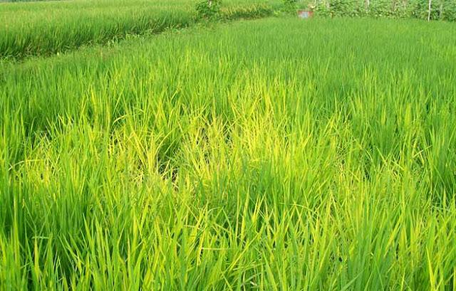 Tungro Virus, Tungro, padi