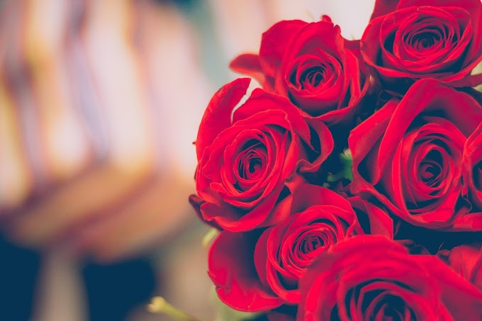 Red Rose Beautiful Wallpapers