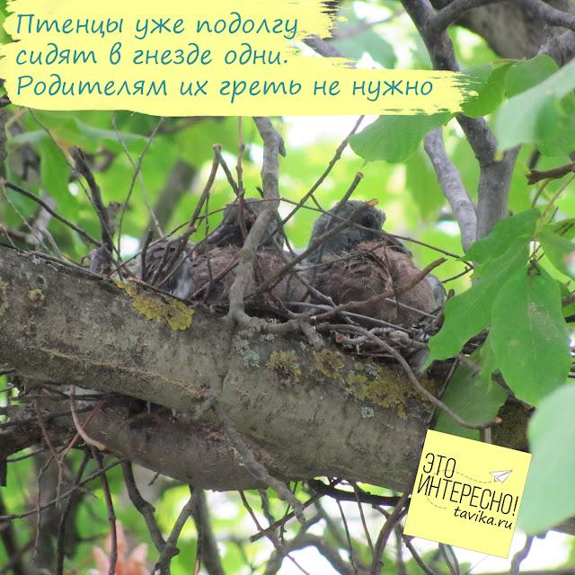 птенцы витютеня в гнезде
