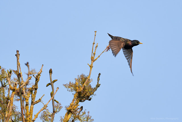 Shooting through the action enabled the capture of this starling take off