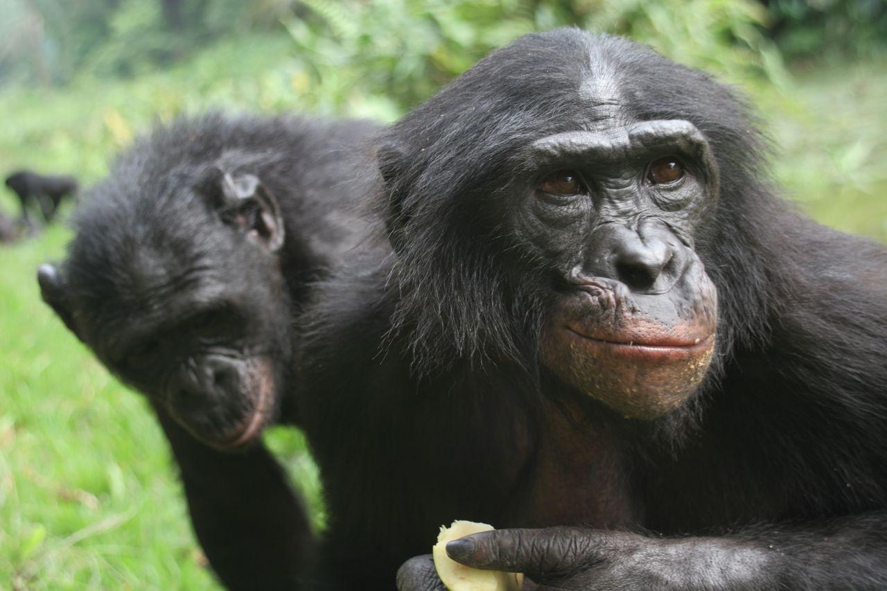 My Background Blog Bonobo