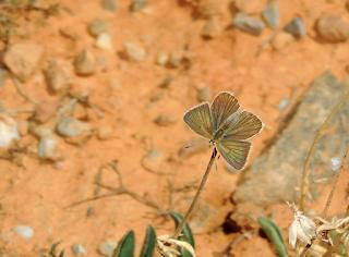 Anverso de Polyommatus fulgens
