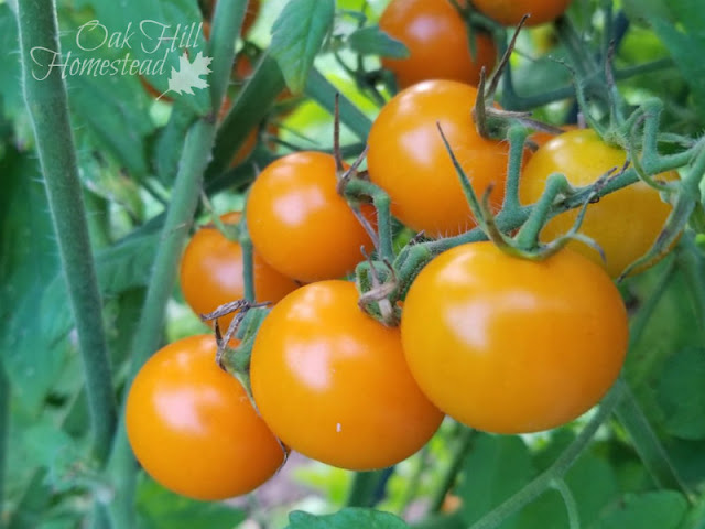 How to over-winter tomato plants