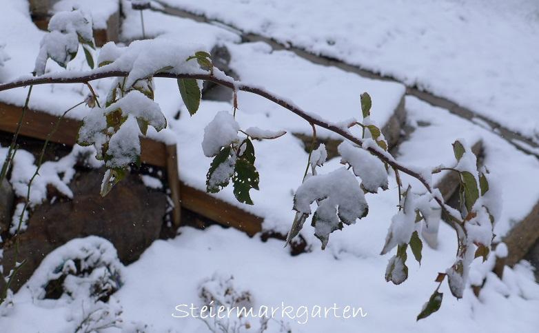 Jännergarten-Rose-Steiermarkgarten
